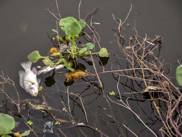 Dead fish float on the water of polluted Ranchi Lake, on Monday. PTI photo