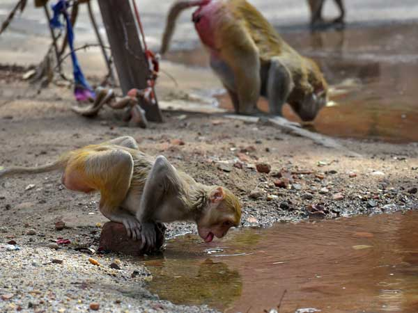 Monkeys quench their thirst during a spell of a heat wave in a village, on the outskirts of New Delhi