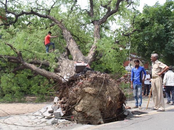 A tree, uprooted in thunderstorm, in Meerut on Saturday. PTI file photo
