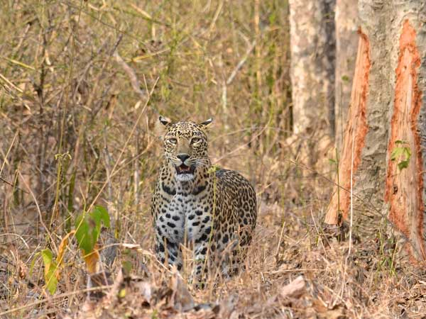 Leopards highly adaptable to living in human-use areas