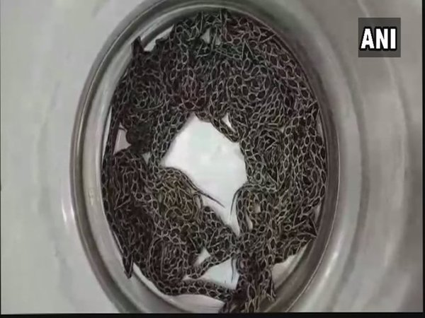 Russells Viper Gives Birth To 36 Baby Snakes At Haffkine Institute