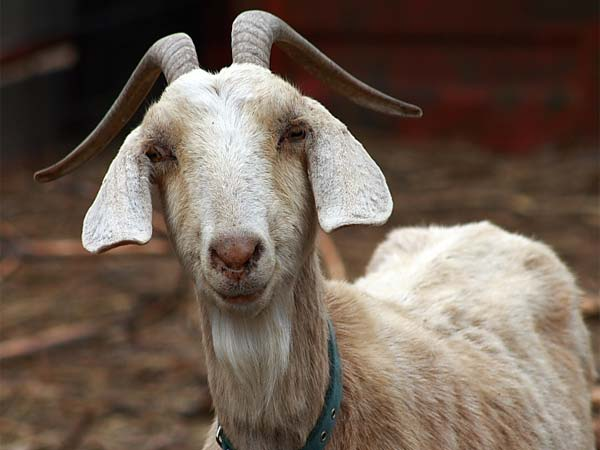 Pregnant goat dies after being gang-raped by 8 barbarians