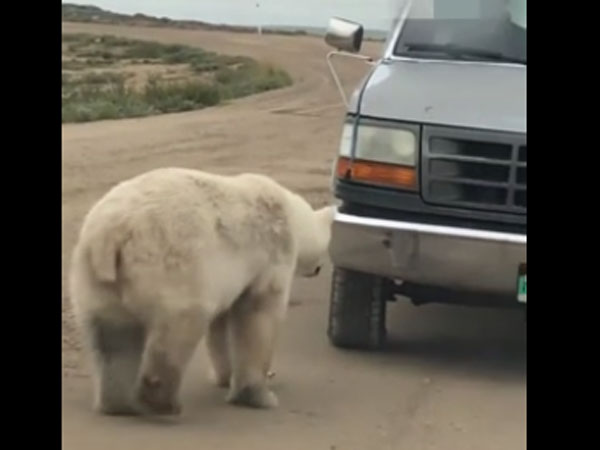 This cute polar bear sees 'another polar bear' on a reflective object and feels intrigued