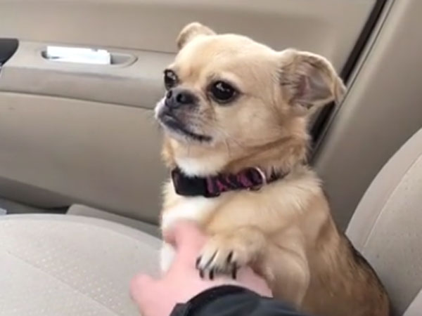 Little dog does not allow its owner to drive car and instead do this