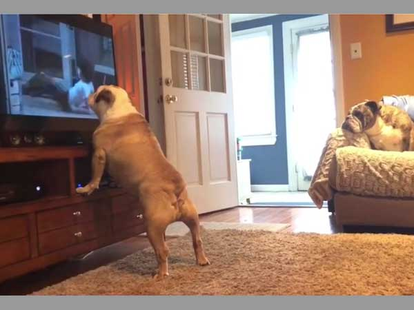 Bulldog prefers horror movie; reacts every time he sees the ghost scaring all