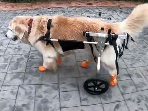 This dog can move again; watch the energy & excitement it has; even its friends are happy