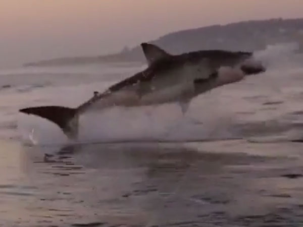 As absorbing a scene from Jaws? Watch the super slo-mo picture of this great white shark leaping from water