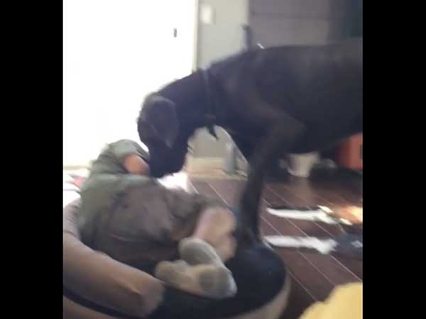 Huge dog finds his bed 'illegally' occupied! Watch his reaction