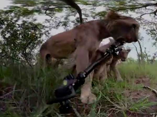 Do you want to see yourself as a lion's prey? This video gives a fair idea