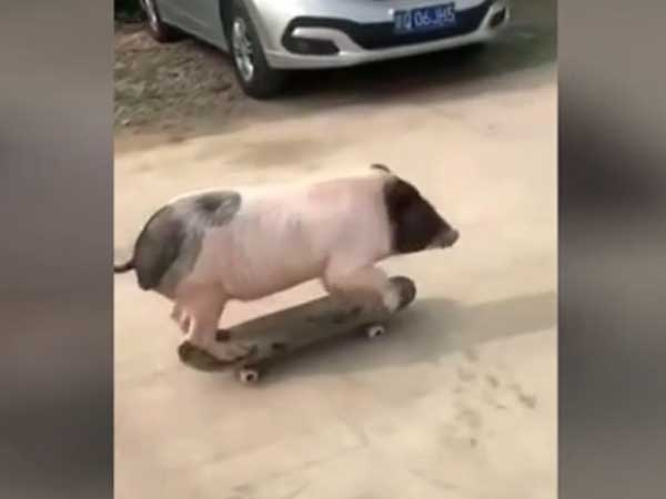 See it to believe it! This animal using a skateboard in style