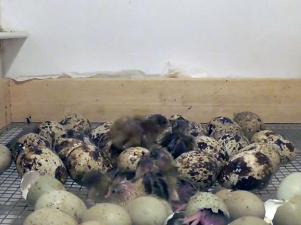 Watch: Baby quails hatch and meet siblings inside incubator