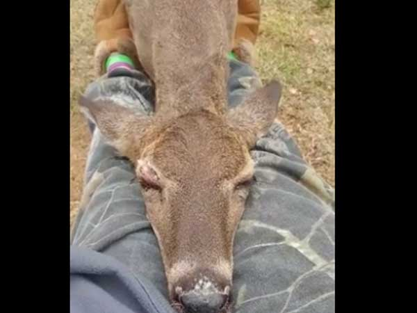 This deer is sleeping on a woman's lap… is it too brave or is there some other reason?