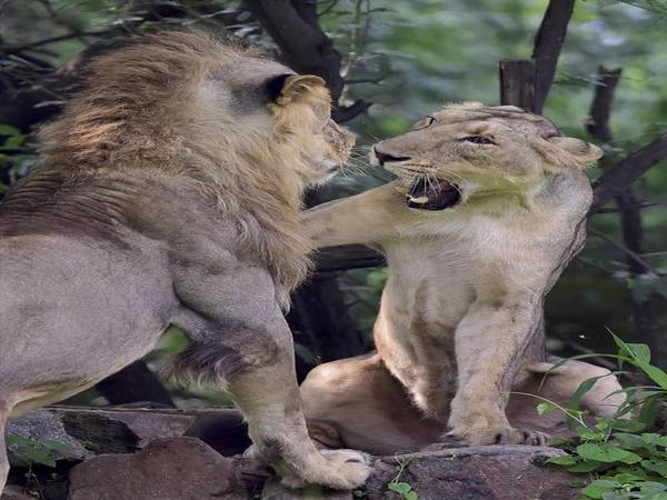 Playful Asiatic Lions. PTI file photo