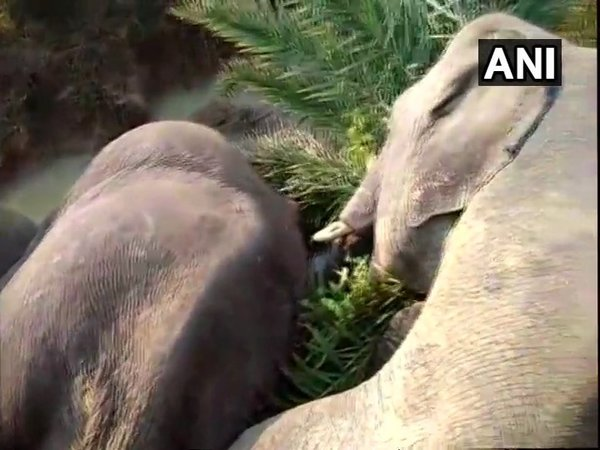 Seven elephants electrocuted in Dhenkanal district (Image courtesy - ANI/Twitter)