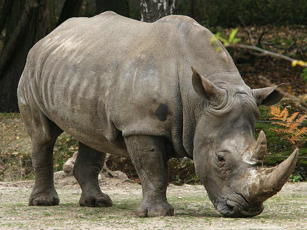 Why China's decision to lift ban on trade in Rhino, Tiger products is bad news for India