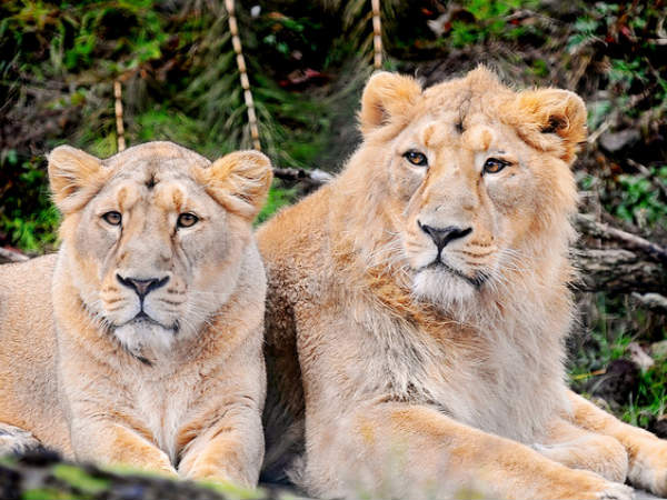 Rescued lions doing fine
