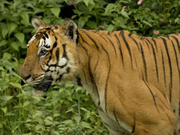 Tiger population across Asia to triple: Study