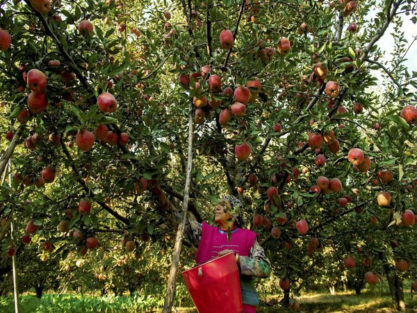 Colossal damage to apple crops