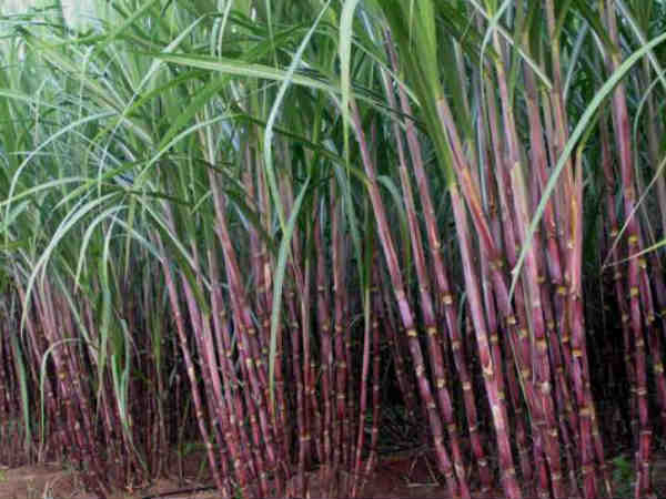 Bitter truth of sugarcane in Karnataka