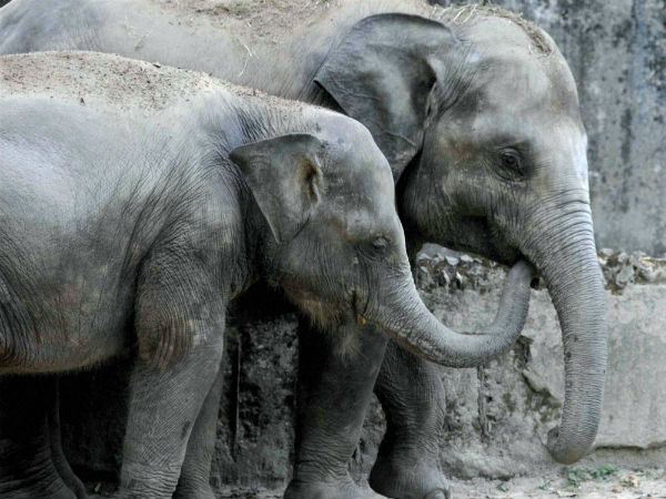 In a first, Kerala's captive jumbos get genetic IDs