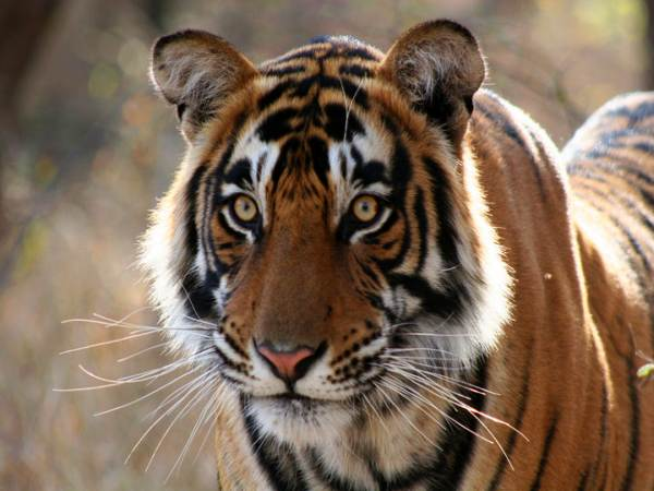 Tiger spotted: Gujarat becomes only state to have 3 big cats
