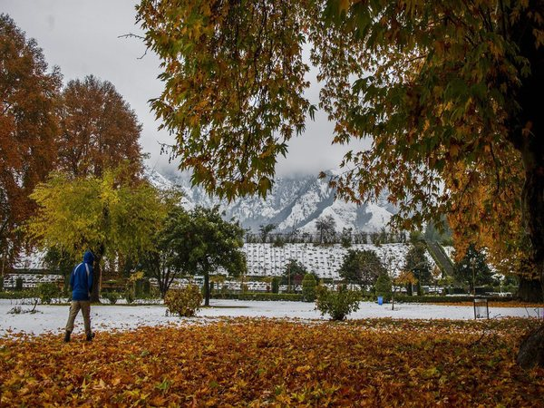 Fallen chinar leaves in the backdrop of snow clad mountains in Srinagar