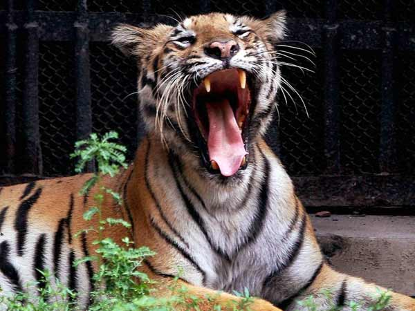 India's first tiger translocation hits roadblock