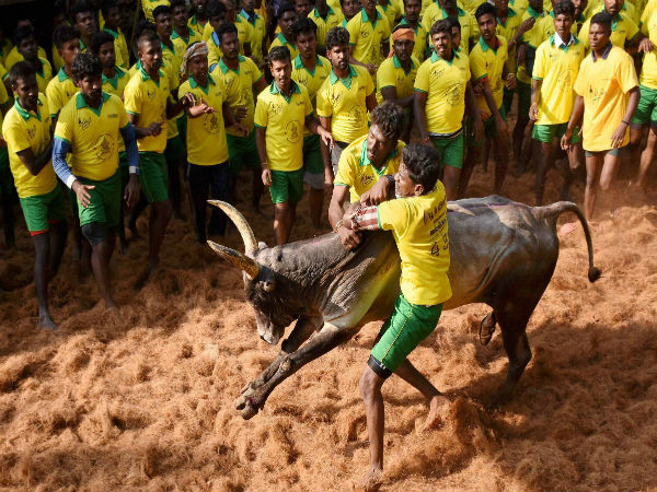 TN: With Pongal round the corner, bulls and bull tamers getting ready for Jallikattu