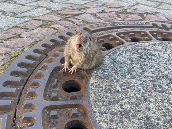 Germany: Animal rescuers, firefighters free fat rat stuck in manhole cover