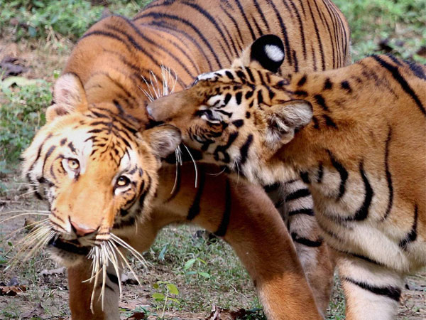 A pair of Royal Bengal tigers at Tata Steel Zoological Park in Jamshedpur, Jharkhand