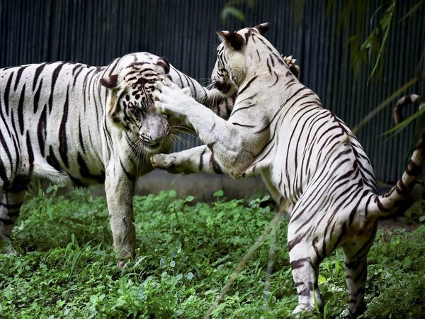 White Tigers in a playful mood. Photo credit: PTI