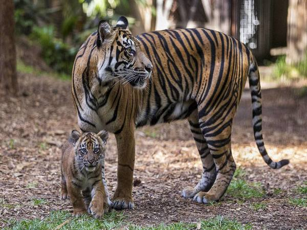 Rare male tiger kills prospective mate in first meeting at London Zoo