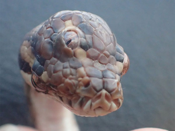Three-eyed snake found on Australian highway and its gone viral
