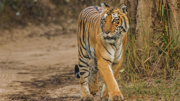 Fact check: Are Tigers eating elephants in Corbett National Park?