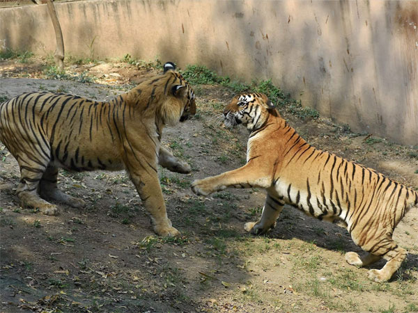 India loses 51 tigers in five months, Madhya Pradesh tops the list