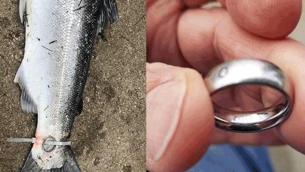 Divorced Man ties haunted wedding ring to fishs tail to 'break the curse'