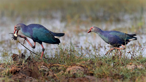 Explained: How climate change is affecting breeding of birds