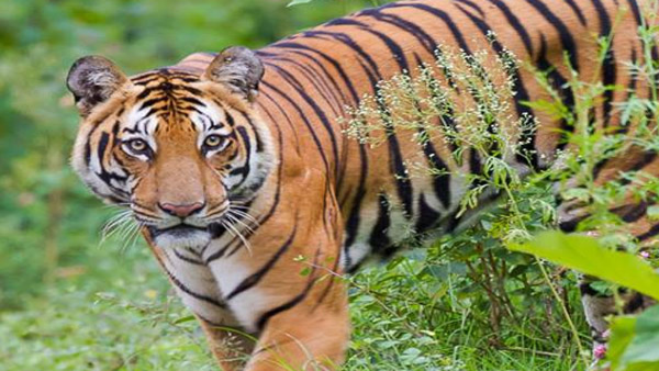 Tigers chase tourist bus in Raipur, workers sacked after video went viral