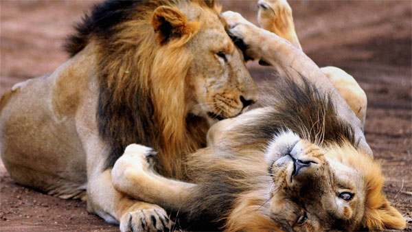 Gir lions affected by deadly virus last year, vulnerable, may never be freed in the wild