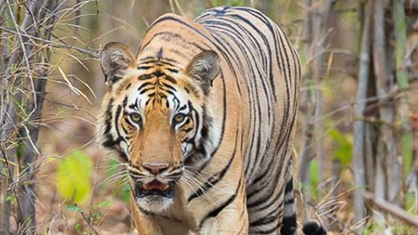 The rise in India's tiger population is not all good news