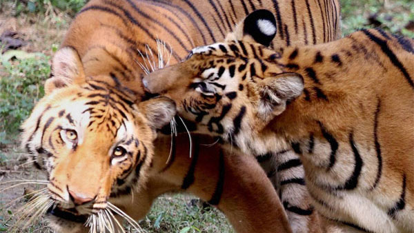 Explained: What is St. Petersburg Tiger Summit that aims to double tiger population