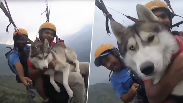 Up in the air! Siberian Husky enjoys paragliding 3,500 feet above ground with its owner
