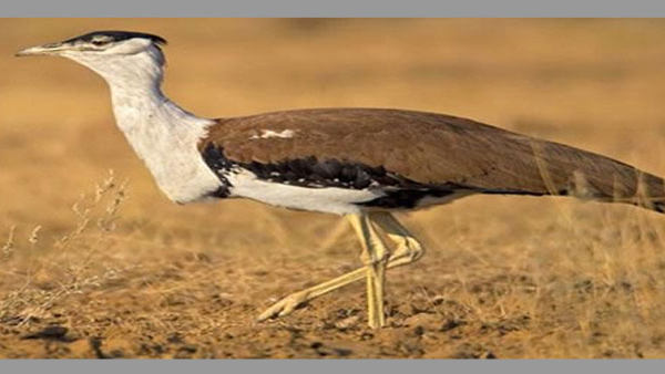 Centre to seek Indian Army's help to conserve Great Indian Bustard