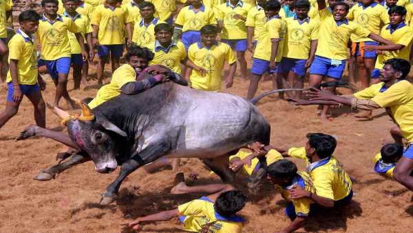 730 bull catchers, over 700 bulls participates in Jallikattu