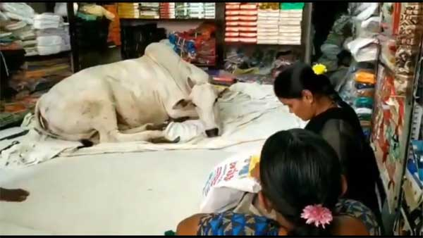 6 months on, stray cow visits this Andhra Pradesh cloth store and does this. Nobody knows why!
