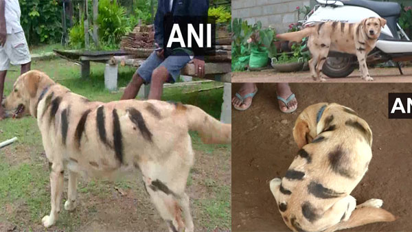 Karnataka farmers painted dogs look like tiger to protect crops