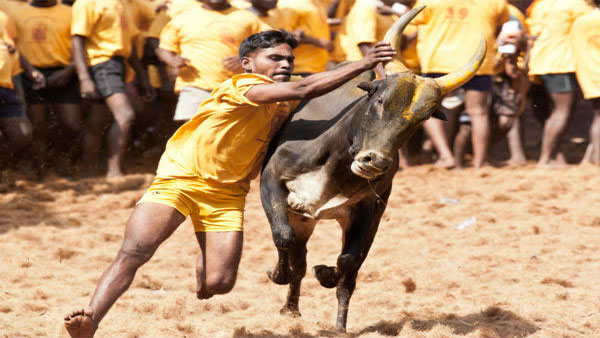 What is Jallikattu?