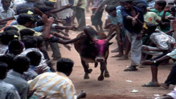 Tamil Nadu's bull taming tradition:
