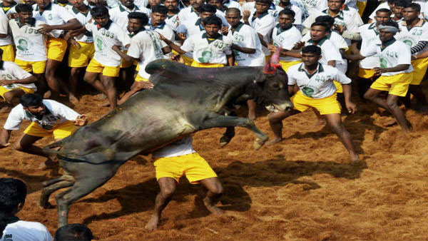 What is the controversy around Jallikattu?