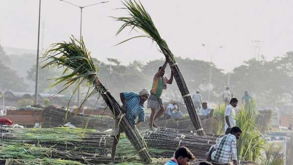 Farmers unload sugarcane from trucks: